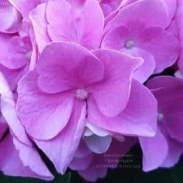 Гортензія крупнолистная Боденсі (Hydrangea macrophylla Bodensee) ФОТО Розплідник рослин Природа (2)