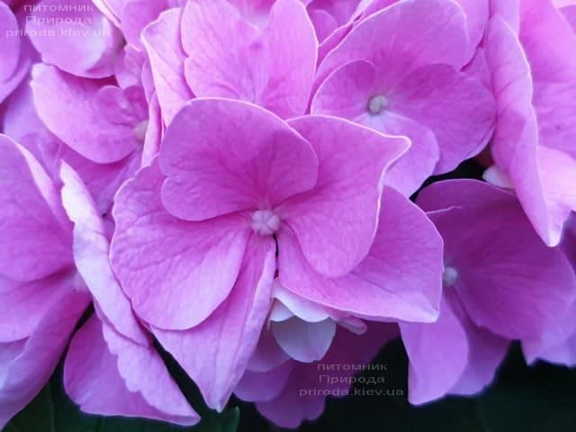 Гортензия крупнолистная Боденси (Hydrangea macrophylla Bodensee) ФОТО Питомник растений Природа (2)