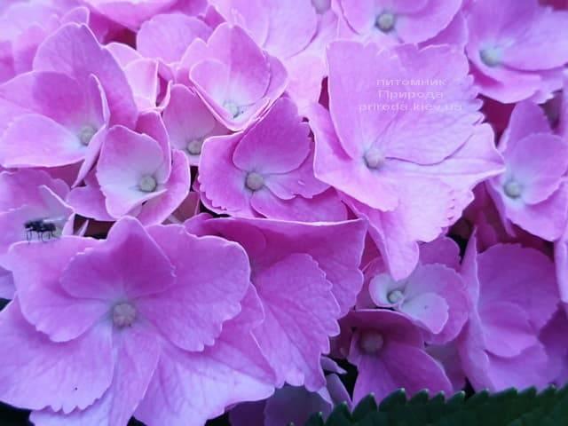 Гортензия крупнолистная Боденси (Hydrangea macrophylla Bodensee) ФОТО Питомник растений Природа (21)