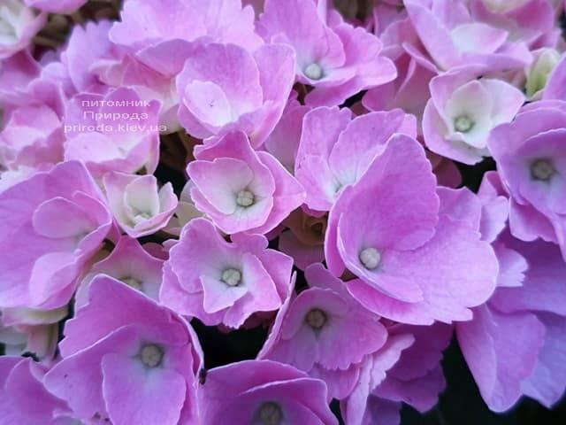 Гортензия крупнолистная Боденси (Hydrangea macrophylla Bodensee) ФОТО Питомник растений Природа (22)