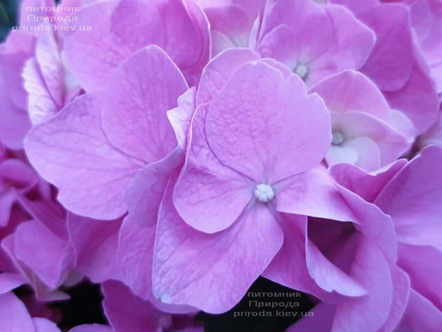 Гортензия крупнолистная Боденси (Hydrangea macrophylla Bodensee) ФОТО Питомник растений Природа (3)