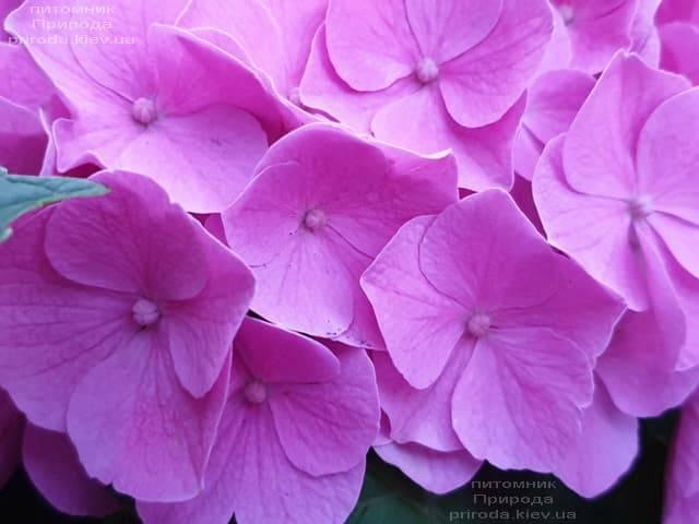 Гортензия крупнолистная Боденси (Hydrangea macrophylla Bodensee) ФОТО Питомник растений Природа (4)