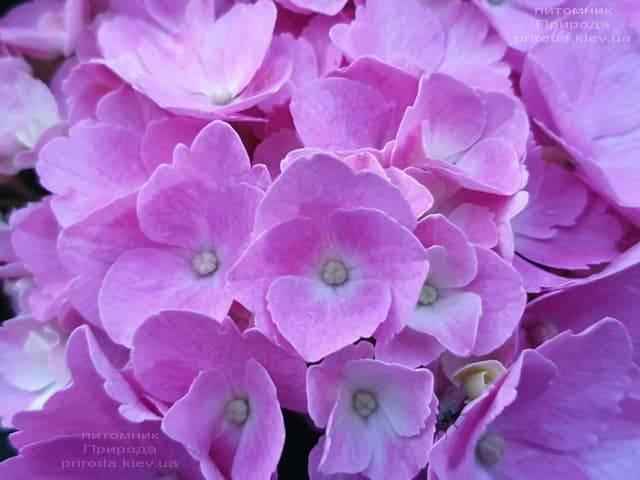Гортензия крупнолистная Боденси (Hydrangea macrophylla Bodensee) ФОТО Питомник растений Природа (5)