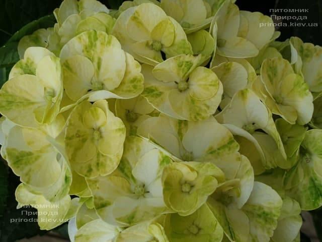 Гортензия крупнолистная Кайпиринья (Hydrangea macrophylla Caipirinha) ФОТО Питомник растений Природа (11)