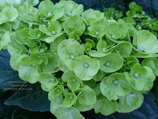 Гортензия крупнолистная Кайпиринья (Hydrangea macrophylla Caipirinha) ФОТО Питомник растений Природа (3)