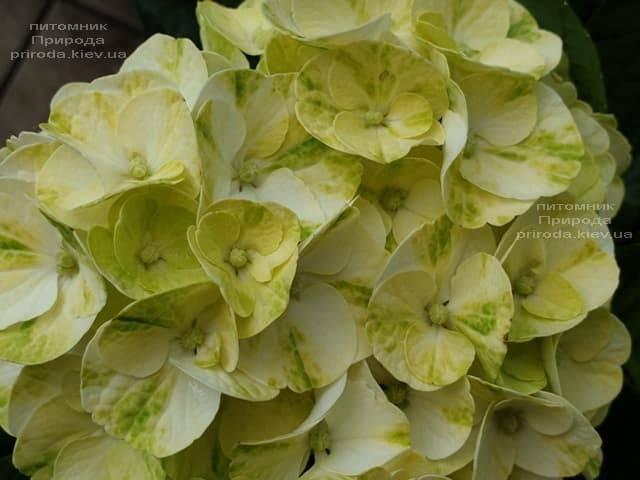 Гортензия крупнолистная Кайпиринья (Hydrangea macrophylla Caipirinha) ФОТО Питомник растений Природа (5)
