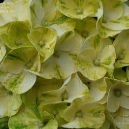 Гортензія крупнолистная Кайпірінья (Hydrangea macrophylla Caipirinha) ФОТО Розплідник рослин Природа (6)