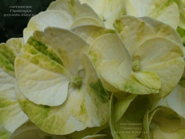 Гортензія крупнолистная Кайпірінья (Hydrangea macrophylla Caipirinha) ФОТО Розплідник рослин Природа (7)