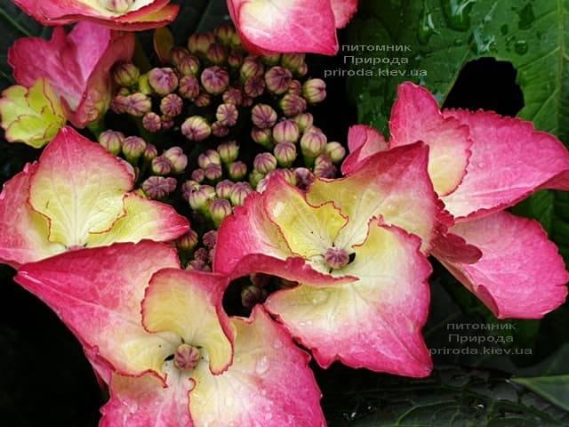 Гортензия крупнолистная Дарк Энджел (Hydrangea macrophylla Dark Angel) ФОТО Питомник растений Природа (2)