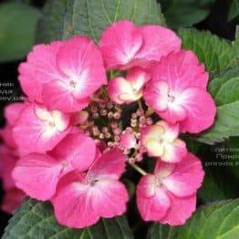 Гортензия крупнолистная Дарк Энджел (Hydrangea macrophylla Dark Angel) ФОТО Питомник растений Природа (5)