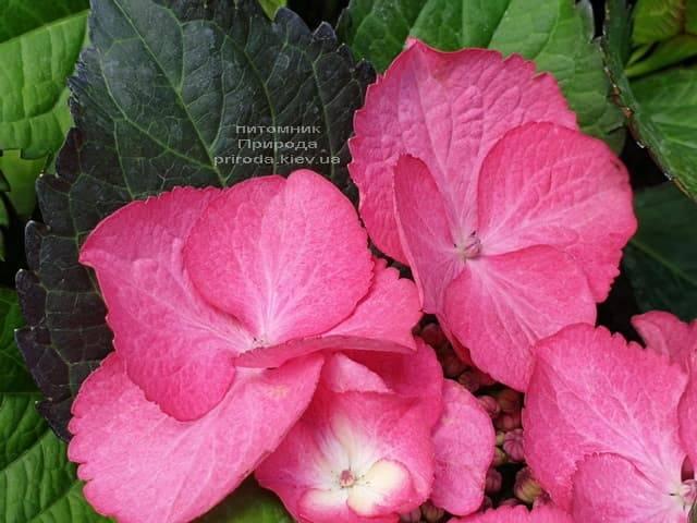 Гортензия крупнолистная Дарк Энджел (Hydrangea macrophylla Dark Angel) ФОТО Питомник растений Природа (6)