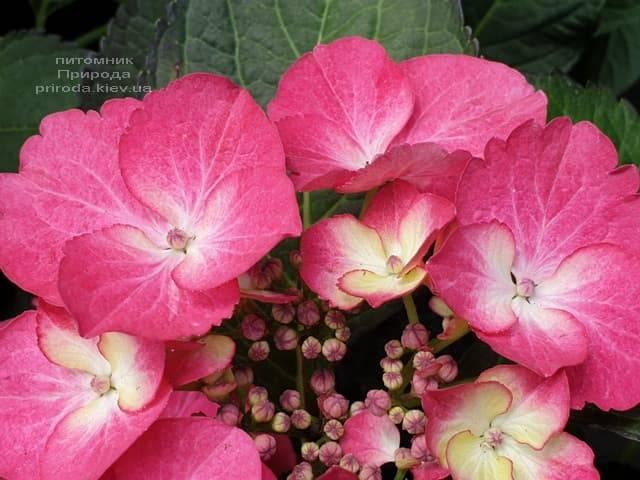 Гортензия крупнолистная Дарк Энджел (Hydrangea macrophylla Dark Angel) ФОТО Питомник растений Природа (9)