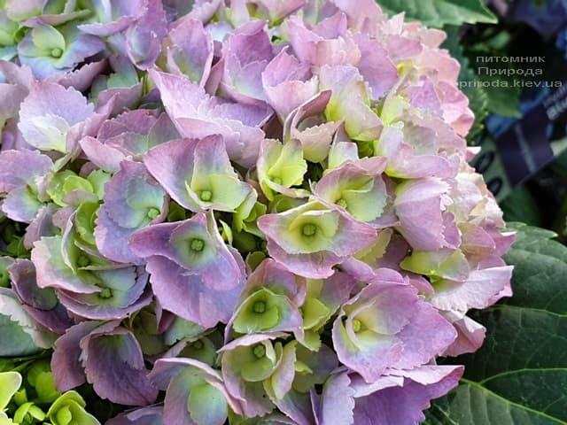Гортензия крупнолистная Форевер Эвер Блю (Hydrangea macrophylla Forever & Ever Blue) ФОТО Питомник растений Природа (2)