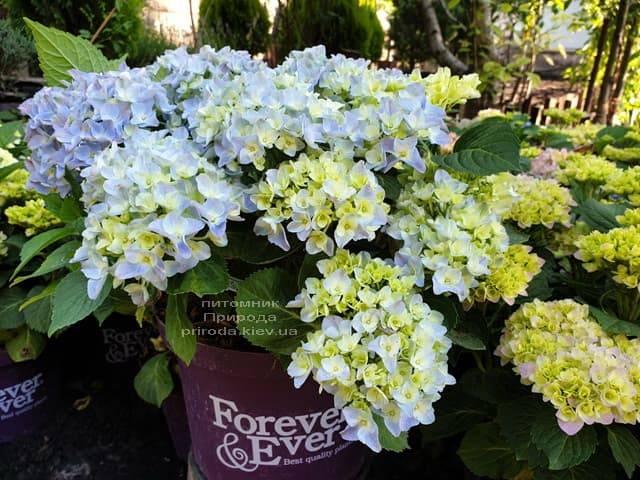 Гортензия крупнолистная Форевер Эвер Блю (Hydrangea macrophylla Forever & Ever Blue) ФОТО Питомник растений Природа (5)