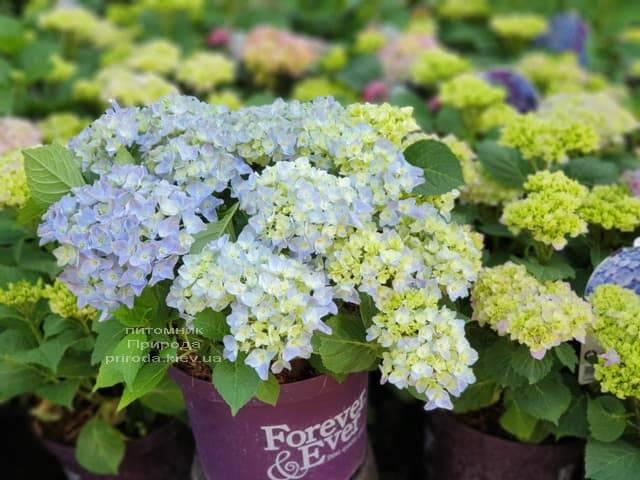Гортензия крупнолистная Форевер Эвер Блю (Hydrangea macrophylla Forever & Ever Blue) ФОТО Питомник растений Природа (6)