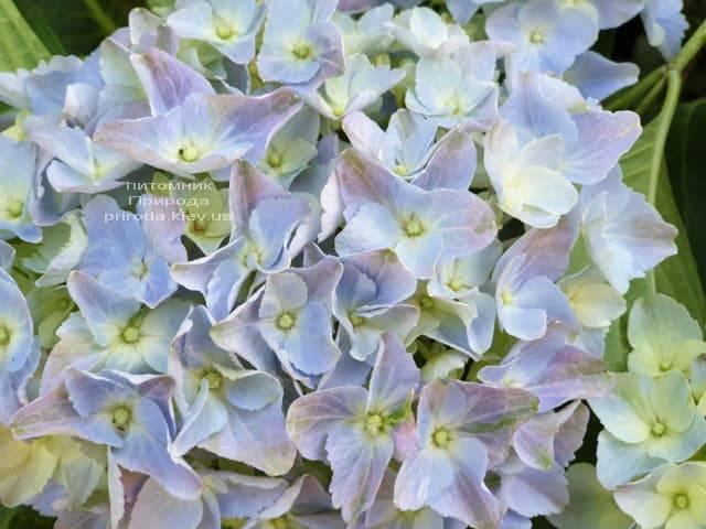 Гортензия крупнолистная Форевер Эвер Блю (Hydrangea macrophylla Forever & Ever Blue) ФОТО Питомник растений Природа (8)
