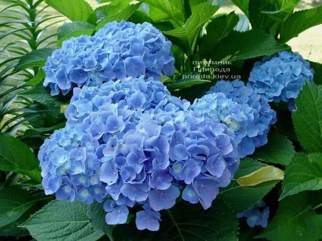 Гортензия крупнолистная Форевер Эвер Блю (Hydrangea macrophylla Forever & Ever Blue) ФОТО Питомник растений Природа (1)