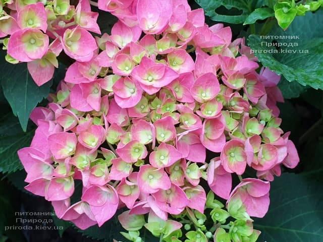 Гортензія крупнолистная Форевер Евер Ред (Hydrangea macrophylla Forever & Ever Red) ФОТО Розплідник рослин Природа (1)