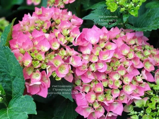 Гортензія крупнолистная Форевер Евер Ред (Hydrangea macrophylla Forever & Ever Red) ФОТО Розплідник рослин Природа (2)