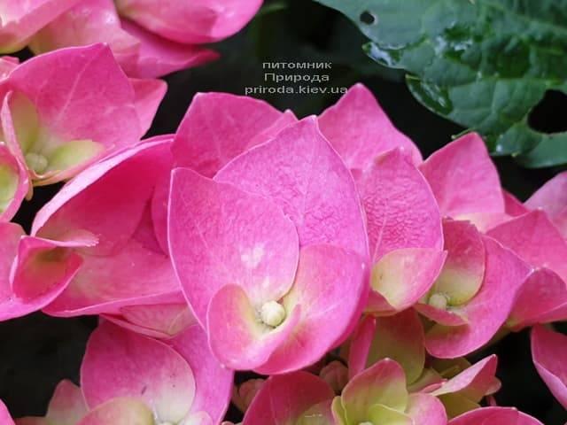 Гортензия крупнолистная Форевер Эвер Рэд (Hydrangea macrophylla Forever & Ever Red) ФОТО Питомник растений Природа (3)