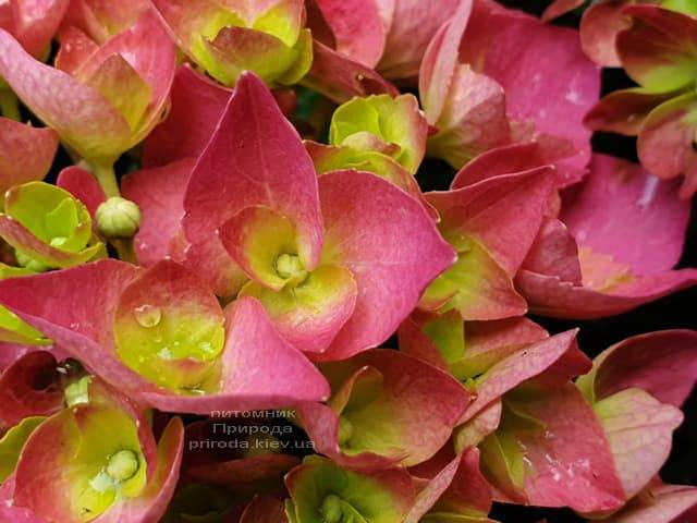 Гортензія крупнолистная Форевер Евер Ред (Hydrangea macrophylla Forever & Ever Red) ФОТО Розплідник рослин Природа (4)