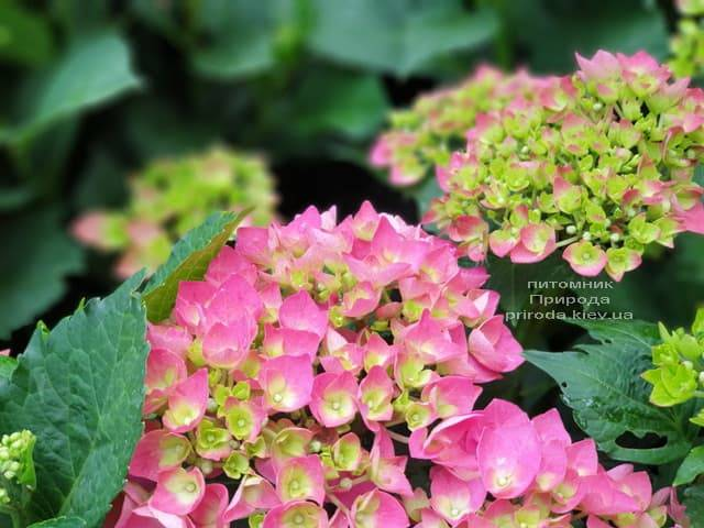 Гортензія крупнолистная Форевер Евер Ред (Hydrangea macrophylla Forever & Ever Red) ФОТО Розплідник рослин Природа (5)