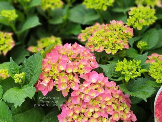 Гортензія крупнолистная Форевер Евер Ред (Hydrangea macrophylla Forever & Ever Red) ФОТО Розплідник рослин Природа (6)