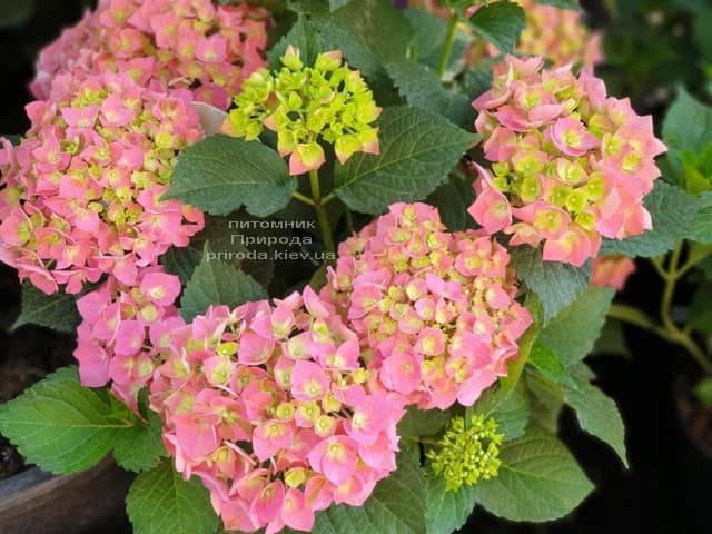 Гортензія крупнолистная Форевер Евер Ред (Hydrangea macrophylla Forever & Ever Red) ФОТО Розплідник рослин Природа (7)