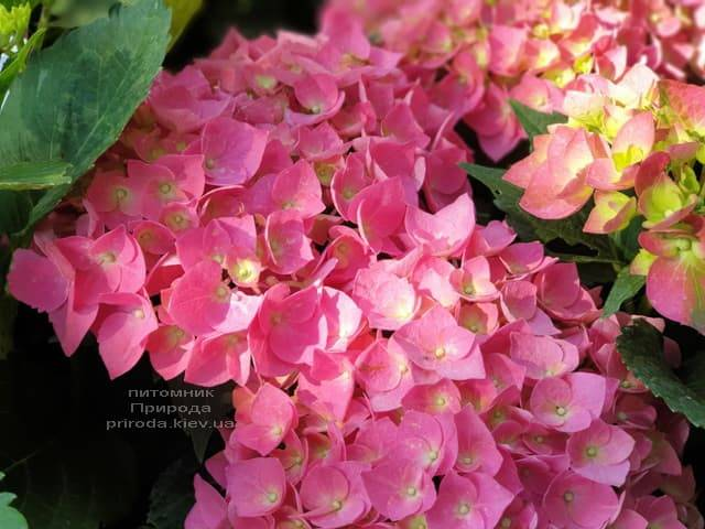 Гортензія крупнолистная Форевер Евер Ред (Hydrangea macrophylla Forever & Ever Red) ФОТО Розплідник рослин Природа (8)
