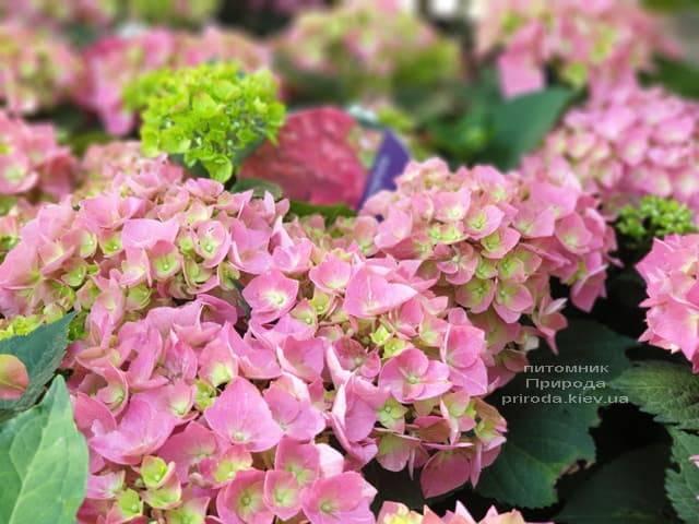 Гортензія крупнолистная Форевер Евер Ред (Hydrangea macrophylla Forever & Ever Red) ФОТО Розплідник рослин Природа (9)