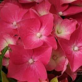 Гортензія крупнолистная Льойхфойер (Hydrangea macrophylla Leuchtfeuer) ФОТО Розплідник рослин Природа) 4)