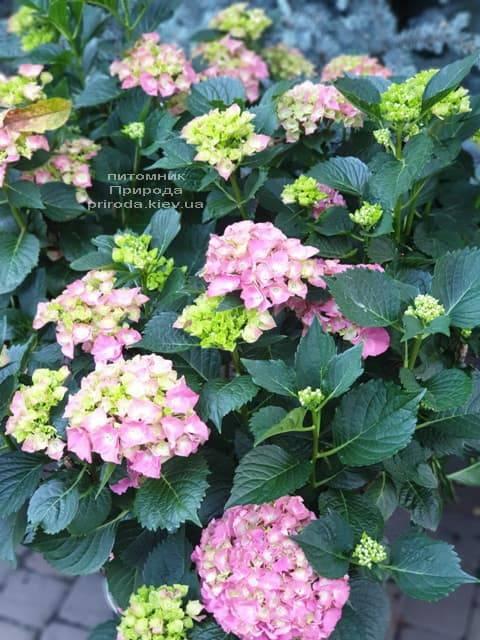 Гортензия крупнолистная Мася (Hydrangea macrophylla Masja) ФОТО Питомник растений Природа (1)