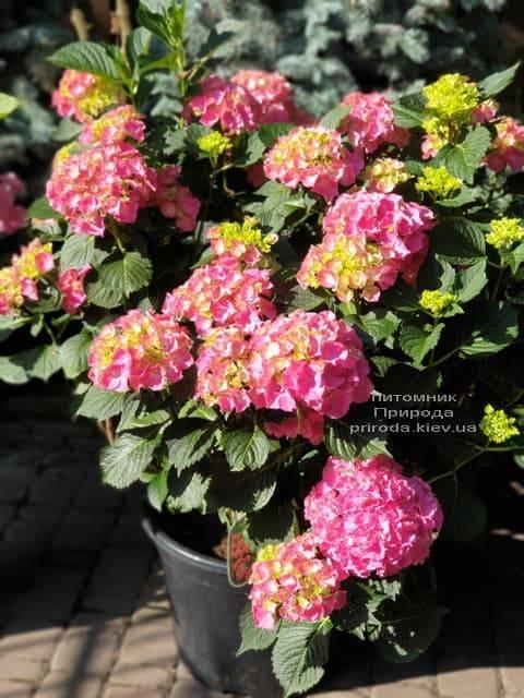 Гортензия крупнолистная Мася (Hydrangea macrophylla Masja) ФОТО Питомник растений Природа (11)