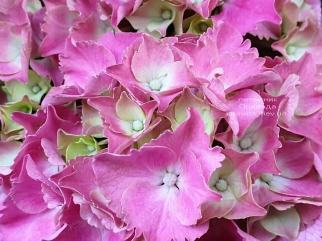 Гортензия крупнолистная Мася (Hydrangea macrophylla Masja) ФОТО Питомник растений Природа (3)
