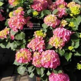 Гортензія крупнолистная Мася (Hydrangea macrophylla Masja) ФОТО Розплідник рослин Природа (5)