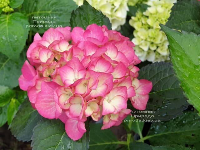 Гортензія крупнолистная Ред Енджел (Hydrangea macrophylla Red Angel) ФОТО Розплідник рослин Природа (1)