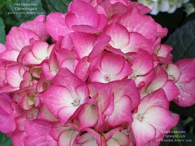 Гортензія крупнолистная Ред Енджел (Hydrangea macrophylla Red Angel) ФОТО Розплідник рослин Природа (2)