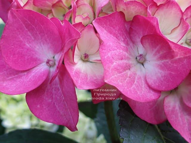 Гортензія крупнолистная Ред Енджел (Hydrangea macrophylla Red Angel) ФОТО Розплідник рослин Природа (3)