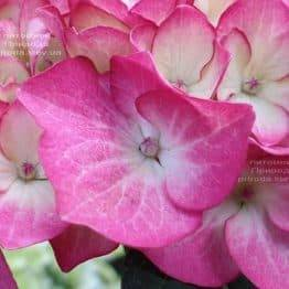 Гортензія крупнолистная Ред Енджел (Hydrangea macrophylla Red Angel) ФОТО Розплідник рослин Природа (4)