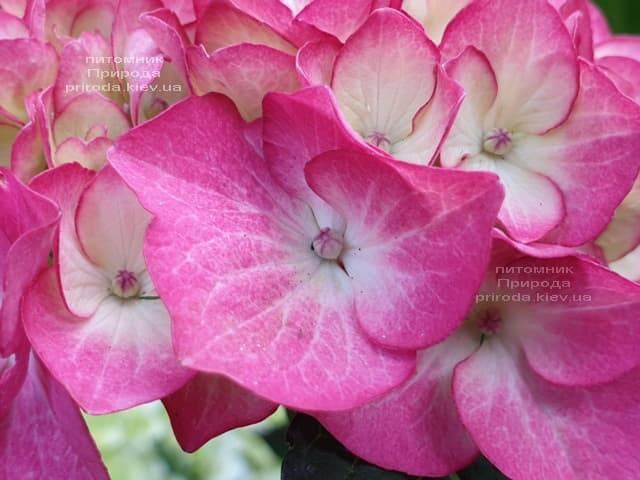 Гортензия крупнолистная Ред Энджел (Hydrangea macrophylla Red Angel) ФОТО Питомник растений Природа (4)