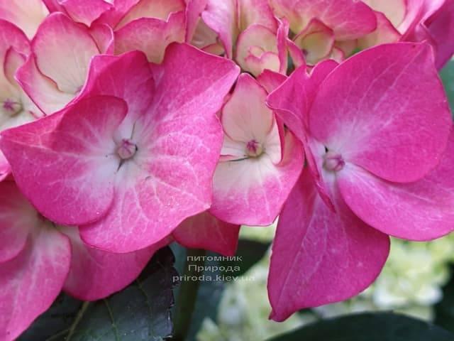 Гортензия крупнолистная Ред Энджел (Hydrangea macrophylla Red Angel) ФОТО Питомник растений Природа (7)