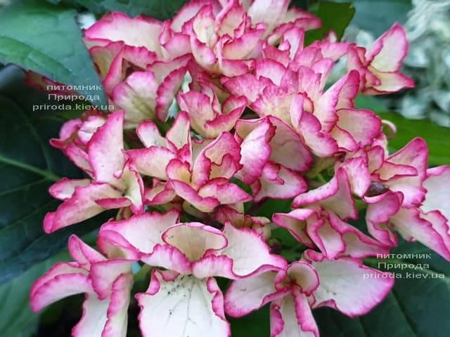 Гортензия крупнолистная Сальса (Hydrangea macrophylla Salsa) ФОТО Питомник растений Природа (1)