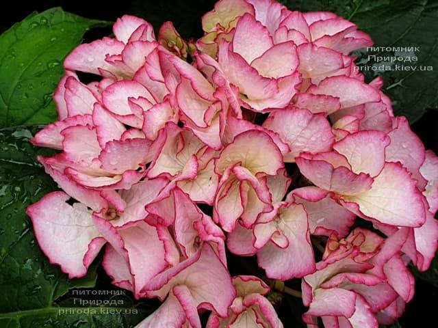Гортензія крупнолистная Сальса (Hydrangea macrophylla Salsa) ФОТО Розплідник рослин Природа (2)