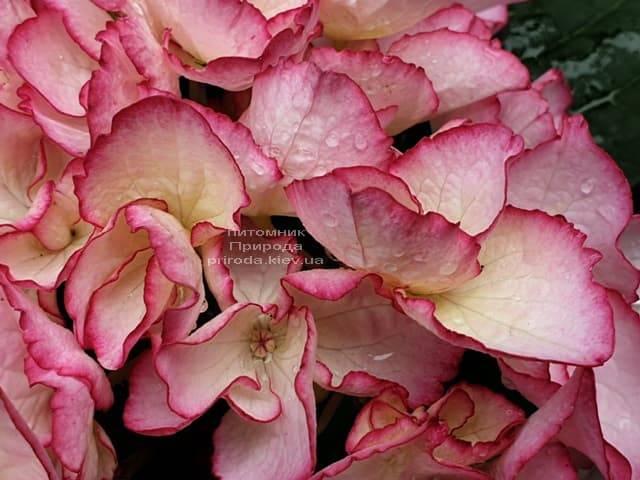 Гортензия крупнолистная Сальса (Hydrangea macrophylla Salsa) ФОТО Питомник растений Природа (3)