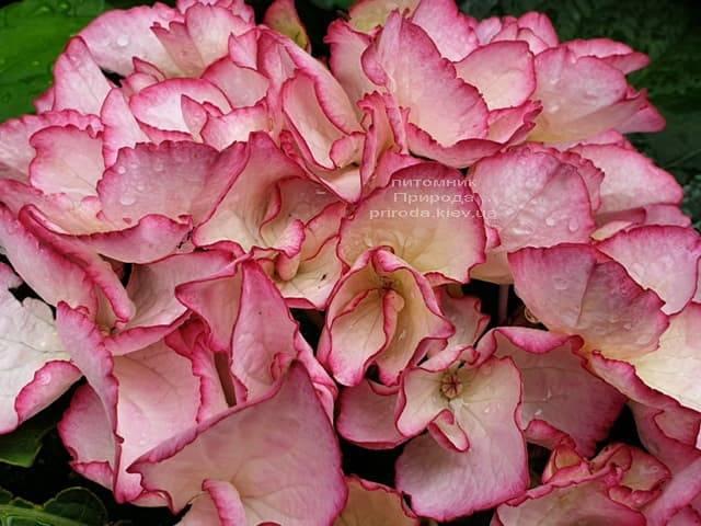 Гортензія крупнолистная Сальса (Hydrangea macrophylla Salsa) ФОТО Розплідник рослин Природа (4)