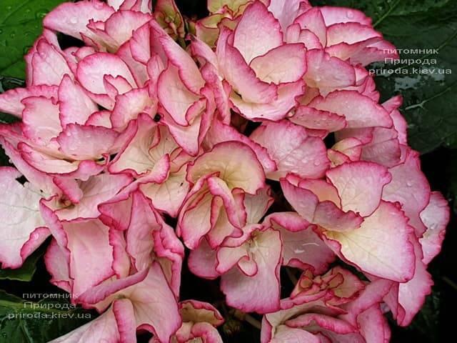 Гортензия крупнолистная Сальса (Hydrangea macrophylla Salsa) ФОТО Питомник растений Природа (5)