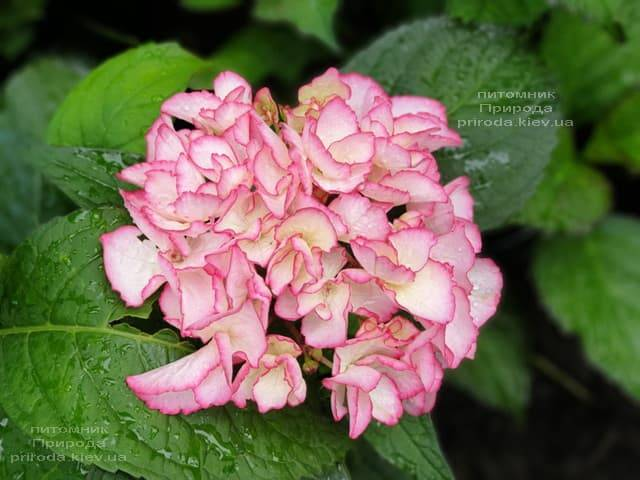 Гортензія крупнолистная Сальса (Hydrangea macrophylla Salsa) ФОТО Розплідник рослин Природа (6)