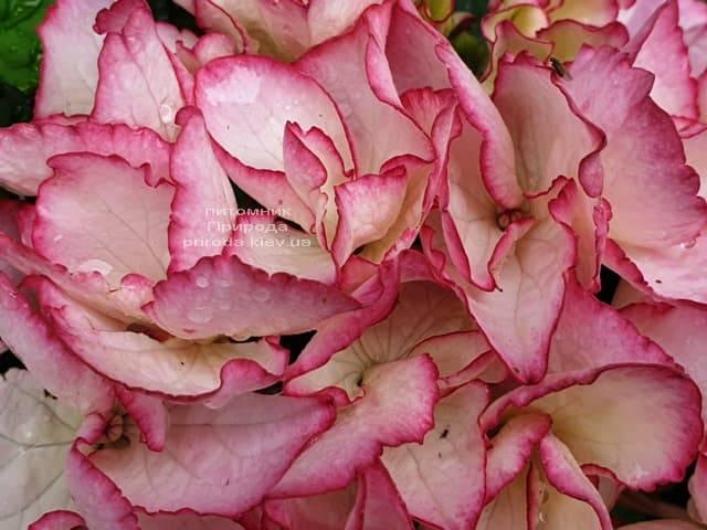 Гортензия крупнолистная Сальса (Hydrangea macrophylla Salsa) ФОТО Питомник растений Природа (8)