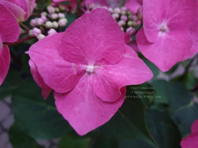 Гортензия крупнолистная Таубе (Hydrangea macrophylla Taube) ФОТО Питомник растений Природа (1)