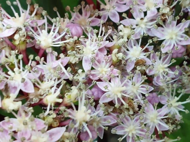 Гортензия крупнолистная Таубе (Hydrangea macrophylla Taube) ФОТО Питомник растений Природа (10)